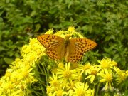 Silver-washed Fritillary 2007 - Darin Stanley