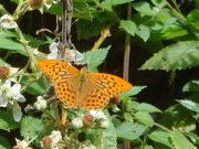 Silver-washed Fritillary - Paul Thrush