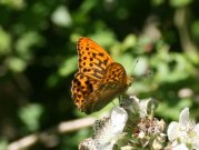 Silver-washed Fritillary 2008 - Clive Burrows