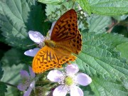 Silver-washed Fritillary 2008 - Darin Stanley