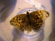 Silver-washed Fritillary 2008 - Michael Pearson