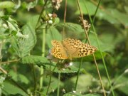 Silver-washed Fritillary 2009 - Marion Moss
