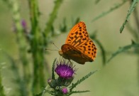 Silver-washed Fritillary 2010 - Clive Burrows