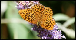 Silver-washed Fritillary 2010 - Malcolm Newland