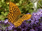 Silver-washed Fritillary 2004 - Lee Browne