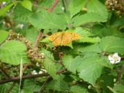 Silver-washed Fritillary 2010 - Paul Thrush