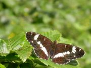 White Admiral 2004 - Malcolm Hull