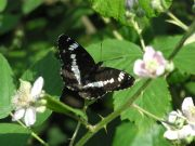 White Admiral 2005 - Marion Moss