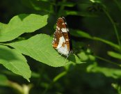White Admiral 2007 - Andrew Wood