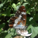 White Admiral 2010 - Laurence Drummond