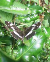 White Admiral 2004 - Archie Lang