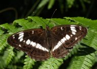 White Admiral 2005 - Lee Browne