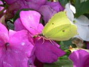 male Brimstone 2005 - Steve Lane