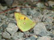 Clouded Yellow 2003 - Andrew Middleton