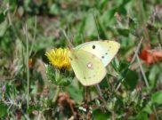 Clouded Yellow helice 2006 - Andrew Middleton