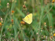 Clouded Yellow 2006 - Richard Harrington