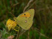 Clouded Yellow 2006 - Steve Lane