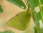 Clouded Yellow 2007 - Andrew Wood