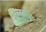Greek Clouded Yellow 2003 - Clive Burrows