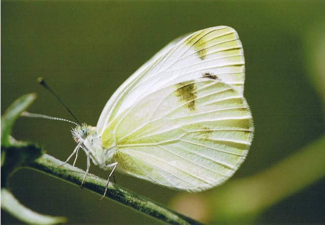 Krueper's Small White 2003 - Clive Burrows