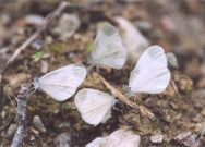 Wood Whites 2003 - Clive Burrows