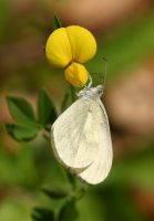 Wood White 2006 - Bob Hasra