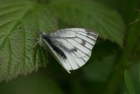 Green-veined White 2008 - Clive Burrows