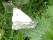 Green-veined White 2008 - Sezar Hikmet