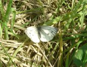 Green-veined White 2009 - Dave Miller