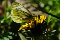 Green-veined White 2011 - Lee Browne
