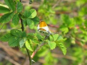 Orange Tip 2010 - Elizabeth Debenham