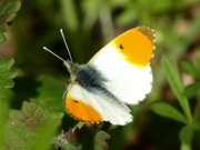 Orange Tip 2010 - Sezar Hikmet
