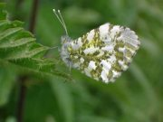 Orange Tip female  2004 - Steven Penn