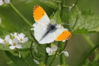 Orange Tip 2011 - Brian Knight