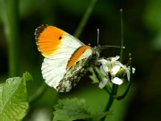 Orange Tip 2009 - Sezar Hikmet