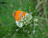 Orange Tip 2005 - Andrew Middleton