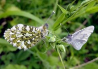 Wood White and Orange Tip 2010 - Dave Miller