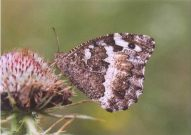 Great Banded Grayling 2003 - Clive Burrows