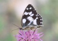 Marbled White 2003 - Clive Burrows