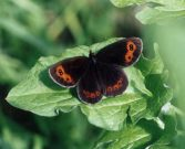 Scotch Argus 2002 - Roger Gibbons