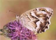 Striped Grayling 2003 - Clive Burrows