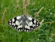 Marbled White 2007 - Steve Lane