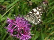 Marbled White 2008 - Jack Harrison