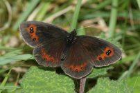 Scotch Argus 2005 - Nick Sampford
