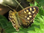 Speckled Wood 2008 - Mike Rubin