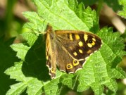 Speckled Wood 2009 - Sezar Hikmet
