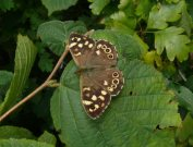 Speckled Wood 2007 - Steve Lane