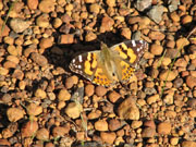 Australian Painted Lady - Dave Chandler